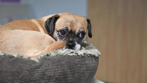 Mopshund Wilma: