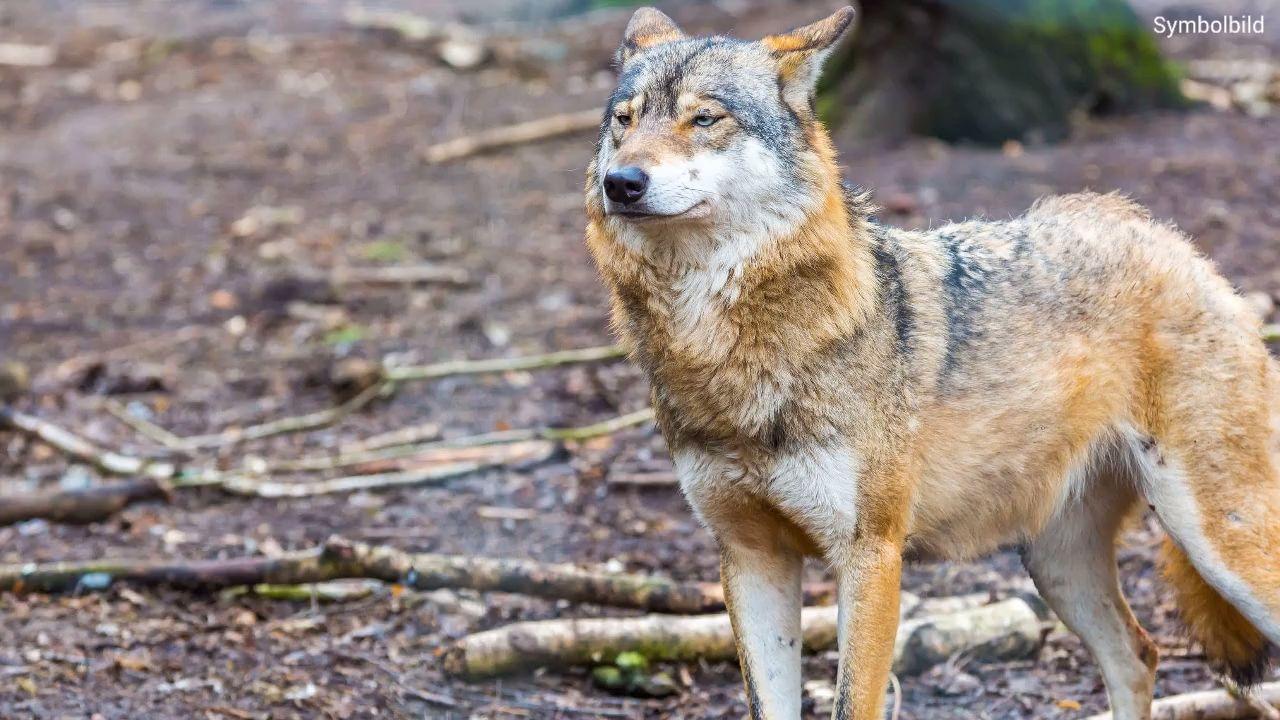 Wolf in Freising entdeckt: Hundebesitzer sind zur Vorsicht aufgerufen