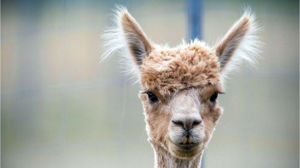 Alpaka-Diebstahl? Christinchen spurlos aus Streichelzoo verschwunden