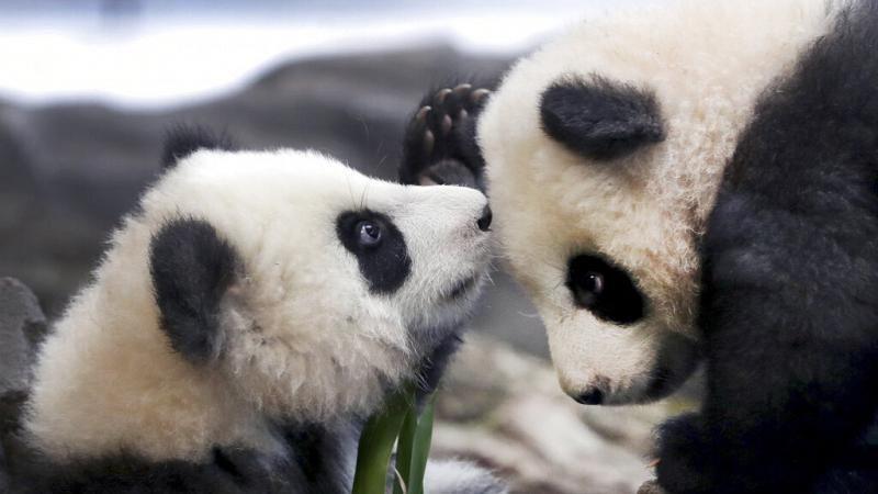 Pit und Paule: Berliner Pandas turnen im neuen Gehege herum